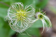 Plant macro (billcoo) Tags: bokeh 6d2 2 6dii garden