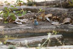 IMG_4121 (SimnKaff) Tags: africa bluewaxbill rufiji selousgr southerncordonbleu tanzania