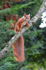 If I jump, you had better catch me... (mlcphotography666) Tags: fur tail eyes ears trees redsquirrel red squirrel animals nature