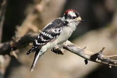 Downy Woodpecker (rwkphotos) Tags: downywoodpecker picoidespubescens