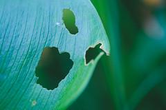 Boo! (Fujibert) Tags: makro pareidolia pflanze gemütsstimmung macromondays blatt optischetäuschung flickr gruselig hmm leaf macro mood opticalillusion pareidolie plant