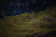 A Group of Sheeps (Niclas Rhein) Tags: scotland isleofskye skye sheeps sheep landscape grass green orange blackface cliff