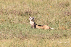 Black-footed Ferret left without a meal