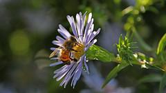 Gegenlicht  -  backlit (karinrogmann) Tags: gegenlicht backlit controluce aster astro biene bee ape