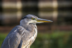 Heron bringing Happiness (stellagrimsdale) Tags: heron bird birdphotography portrait profile bokeh