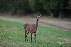 Biche... (fabrice.jandin) Tags: mammifères cervidés biche eté automne prairie paysage