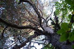 Le vieux pin (RarOiseau) Tags: alpesdehauteprovence paca arbre forêt montagne turriers