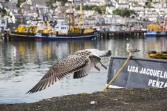 Taking to Flight, Newlyn Harbour (Steve Weaver) Tags: newlyn penzance cornwall kernow cornish coast coastline harbour boats trawlers fishing seagull young flight colours bokeh