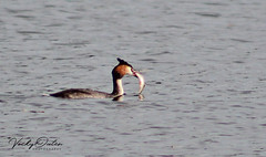 Great crested grebe with a big fish for it's young 7/10/18 (vickyouten) Tags: greatcreastedgrebe grebe bird canon canon1300d nature wildlife carrmilldam sthelens vickyouten