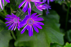 Gratuitous Purple (Rich Renomeron) Tags: fujifilmxt20 fujinonxc1650mmf3556oisii australia fitzroygardens flowers melbourne plants