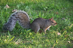 Squirrels at Sarnia Bay Marina (Sarnia, Ontario, Canada) - September 1st, 2018 (cseeman) Tags: stclairriver river water canada sarnia ontario overcast morning sarniabaymarina marina parks squirrels blacksquirrels easterngreysquirrels wildlife animals sarniaontario sarniacanada sarniasquirrels canadiansquirrels trees