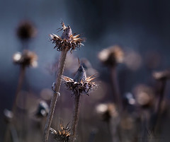 Night watchmen (marianna_armata) Tags: echinacea seedheads plants flowers seeds evening night blue hour macro mariannaarmata canada wildflower autumn fall seasons group collection