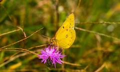 7K8A7570 (rpealit) Tags: scenery wildlife nature weldon brook management area orange sulphur butterfly