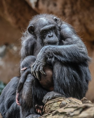 Fatherly love (Paul Wrights Reserved) Tags: monkey monkeys ape apes animal animals father fathers child children hug parent kindness chimp chimpanzee chimpanzees chimps