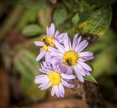 Fly and Bee on Asters (1 of 1).jpg (weatherfordm25) Tags: mtmagazine flowers places insects