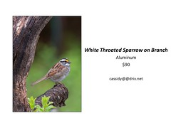 "White Throated Sparrow on Branch • <a style=""font-size:0.8em;"" href=""https://www.flickr.com/photos/124378531@N04/45312919342/"" target=""_blank"">View on Flickr</a>"