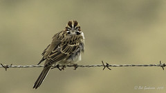 Lark Sparrow in the fog (Bob Gunderson) Tags: alamedacounty birds california chondestesgrammacus eastbay larksparrow northerncalifornia pattersonpassroad sparrows