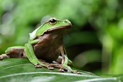 2J4A8079 (ajstone2548) Tags: 12月 樹蛙科 兩棲類 翡翠樹蛙