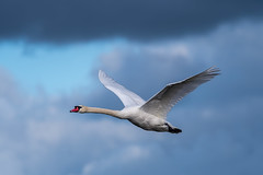 Merizion mute Swan