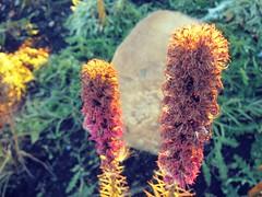 Autumn  Flowers (Mr. Happy Face - Peace :)) Tags: thursdayflower garden fall canada albertabound art2018 flower floral glow sunlight autumn