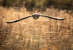 Short-eared Owl skimming the Spider webs (Steve D'Cruze) Tags: spider webs bird short eared owl asio flammeus hunting nikon d500 sigma 150600mm