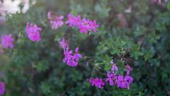 Potted flowers along the path. (Thea Prum) Tags: a7riii f14 hiking hornpond nature pond samyang85mm sony sunset