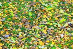 The autumn leaves (irio.jyske) Tags: leaves colors autumn autumncolors grass winter naturephoto naturepictures nature naturephotograph naturepic naturescape naturephotos naturephotographer naturepics natural beauty beautiful cityphotograph citypic cityphotographer cityscapes cityscape townphtograph townscapes townphotograph townscape town townpic townphotographer townscapephotograph townphotos townscapephotographer