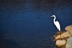 Night shot (thomasgorman1) Tags: bird egret nature wildlife night rocks water river arizona snowy white flash nikon shore dusk dark