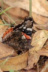 Butterfly-1 (Tunay AYBERKIN) Tags: izmir izmirprovince turkey tr
