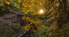 Golden Autumn. (Sveta Imnadze) Tags: autumn pacificnorthwest wa woodland cedarcreekmill foliage yellow sunburst