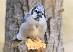 blue jay at Lake Meyer Park IA 653A5690 (lreis_naturalist) Tags: blue jay lake meyer park winneshiek county iowa larry reis
