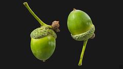 Acorn 3D model (ZB-Vision) Tags: acorn 3d model capnut thumbnut butterflynut oak cupshaped cup cupule quercus gland makk agern ekollon eichel green boar food