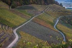 des courbes et des lignes 4 (nuts9000) Tags: allemagne paysage ortenbergschloss chateau badwurtenberg vignoble automne offenburg vigne