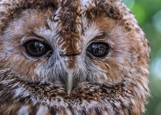 Tawny Owl at ESoF