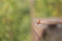 Botanic Butterfly (lewist584) Tags: sony sonynex5r nex5r nex emount belgium leuven louvain cosinon50mmf17 cosina manualfocus m42mount m42 bokeh butterfly botanical gardens