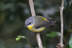 Eastern Yellow Robin (Alan Gutsell) Tags: easternyellowrobin eastern yellow robin lamingtonnationalpark naturephoto nationalpark queenslandbirds queensland australian australia alan nature wildlife canon