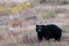 I see you ((JAndersen)) Tags: bear blackbear glacier glaciernationalpark manyglacier nature wildlife montana animal usa nikon nikkor20005000mmf56 d810