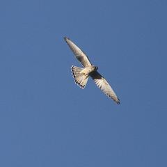 Kestrel. (wurzel.pete.3.7 Million views,Ta!) Tags: 26918 warwickwold uk surrey birdofprey kestrel small fast bird wild nature canon7d canon eos
