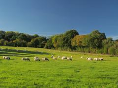 Sheep grazing on a green pasture at Scotland farm, Hawkley (Dmitry Dzhus) Tags: sheep hill landscape sky grass hampshire farm