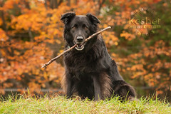 Picture of the Day (Keshet Kennels & Rescue) Tags: rescue kennel kennels adoption dog ottawa ontario canada keshet large breed dogs animal animals pet pets field tree forest nature photography border collie retriever stick fall autumn fetch