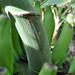 Pisang Jari Buaya_Peduncle close-up