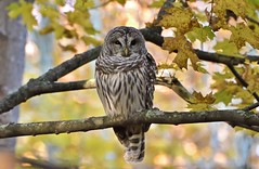 Autumn Beauty (hd.niel) Tags: barredowl owls autumn fall colors nature woods trees wildlife ontario photography leaves