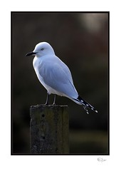 Gull (radspix) Tags: sony ilce7r 400mm tamron f69 preset model f069