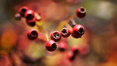 Old berries (aadilbricha) Tags: bfood berries macro macromonday berry nature bokeh dof