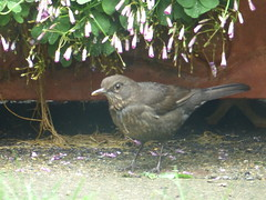 blackbird female on the hunt after rain (river crane sanctuary) Tags: blackbird female rivercranesanctuary