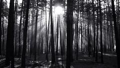 Forest. Monochrome. (ALEKSANDR RYBAK) Tags: лес деревья солнце солнечный свет лучи тени стволы хвоя монохромный природа forest trees sun solar shine rays shadows trunks needles monochrome nature wood tree « b wartaward»