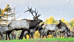 BNP_5891_NXi-Edit (MartinGene) Tags: elkcounty pa pennsylvania elk country mountains antlers