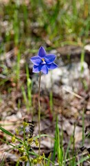 Sun Orchid (Ultraviolet Sun) Tags: orchid thelymitra sunorchid wildflower