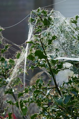 P1130533 (harryboschlondon) Tags: harryboschflickr harrybosch harryboschphotography harryboschlondon october2018 october 2018 21stoctober2018 plantstreesandflowers botanical botanicalphotography nature naturephotography england englandphotography green cobweb spidersweb