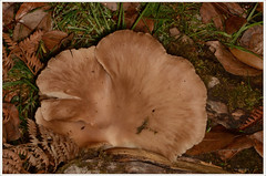 Chanterelle (2) (bobspicturebox) Tags: mushrooms horse head backbone honeycomb cep penny bun fly agaric blusher brittle stem false death cap knight deceiver russula forest scenes hampshire